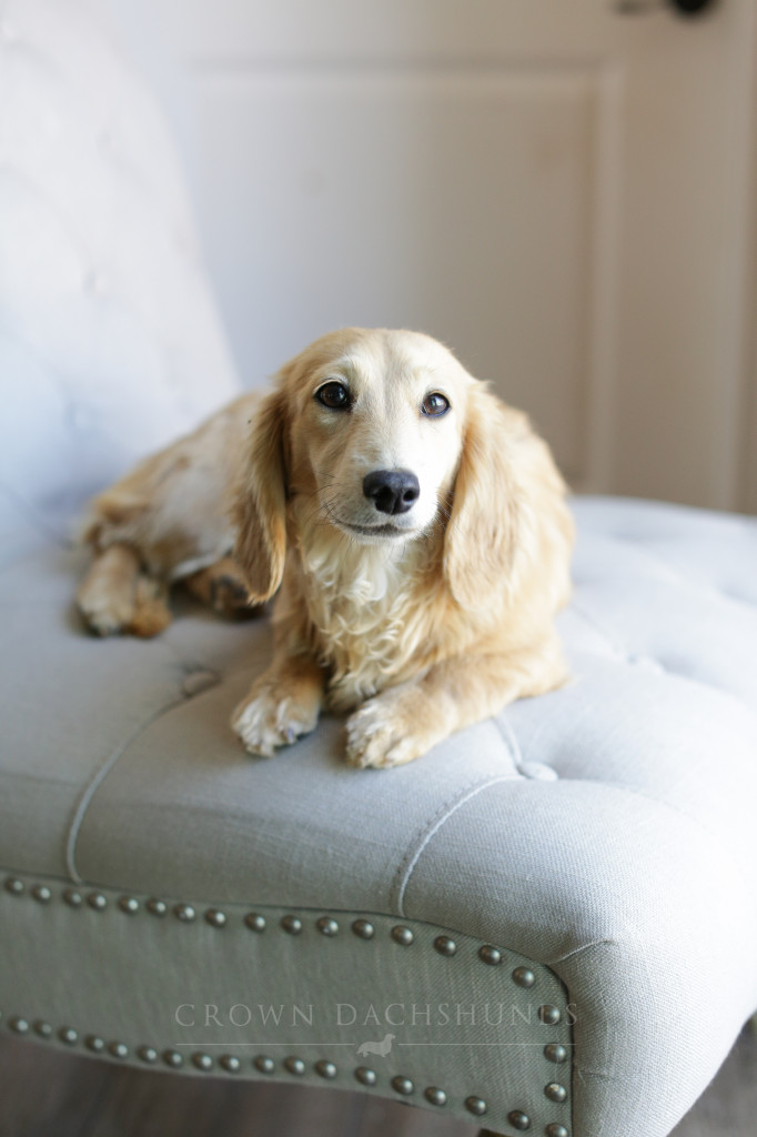 Baby 9 months old cream dachshund longhaired miniature mini ee shaded doxie puppy-9523