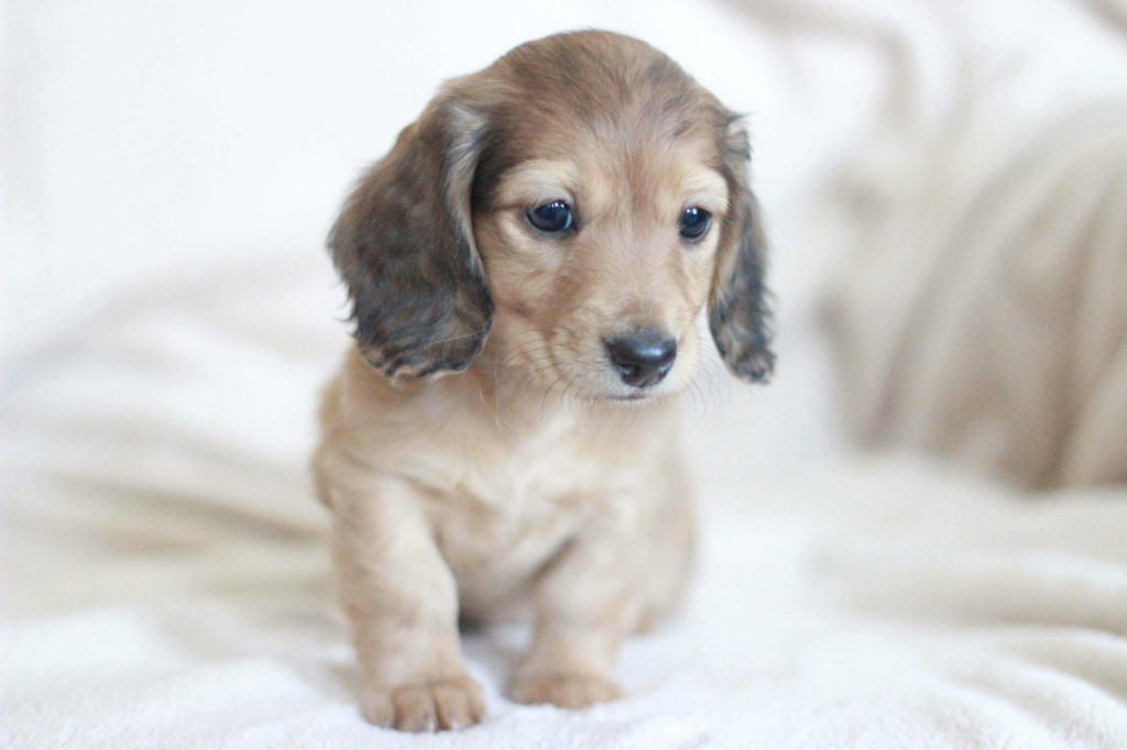 Elizabeth english cream dachshund puppy