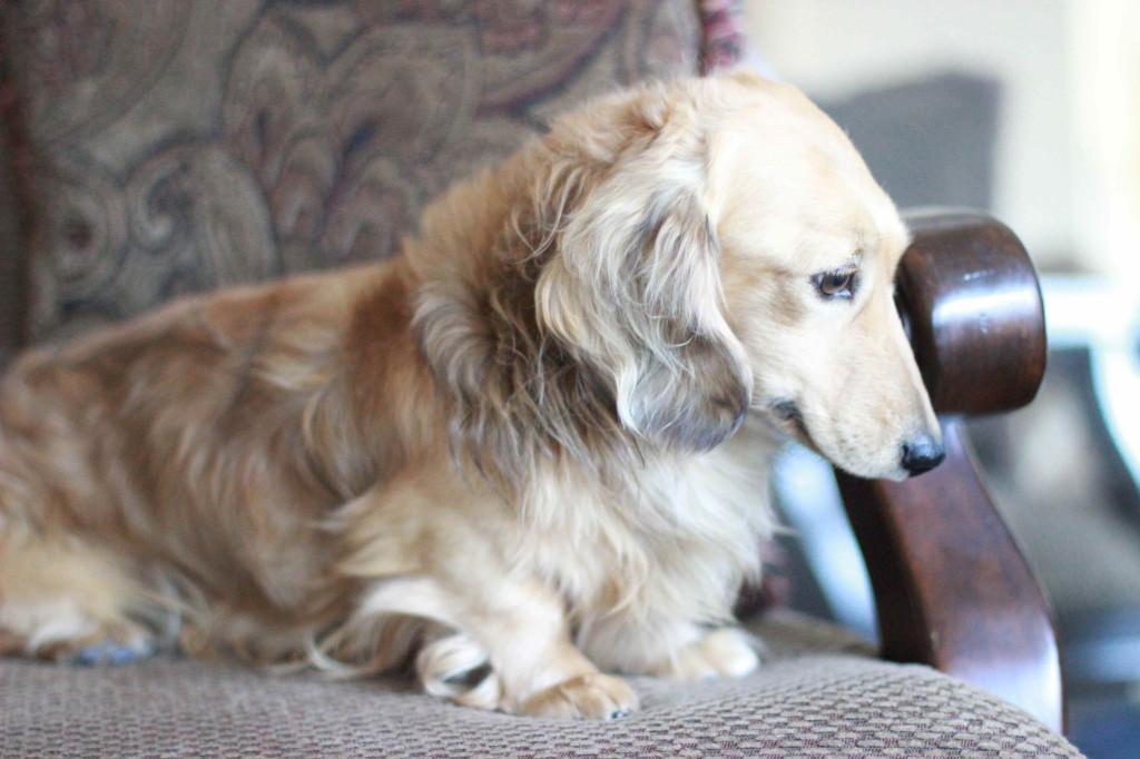 English cream dachshund boy 1
