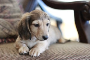 English cream longhaired dachshund 8 weeks