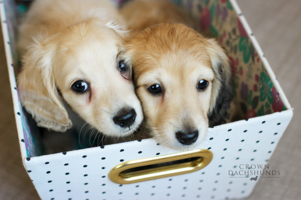 Louie (pale cream) & Honey (lightly shaded cream) - 8 weeks
