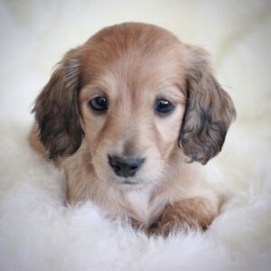 English cream longhaired miniature dachshund