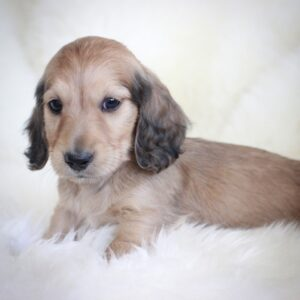 English cream dachshund puppy