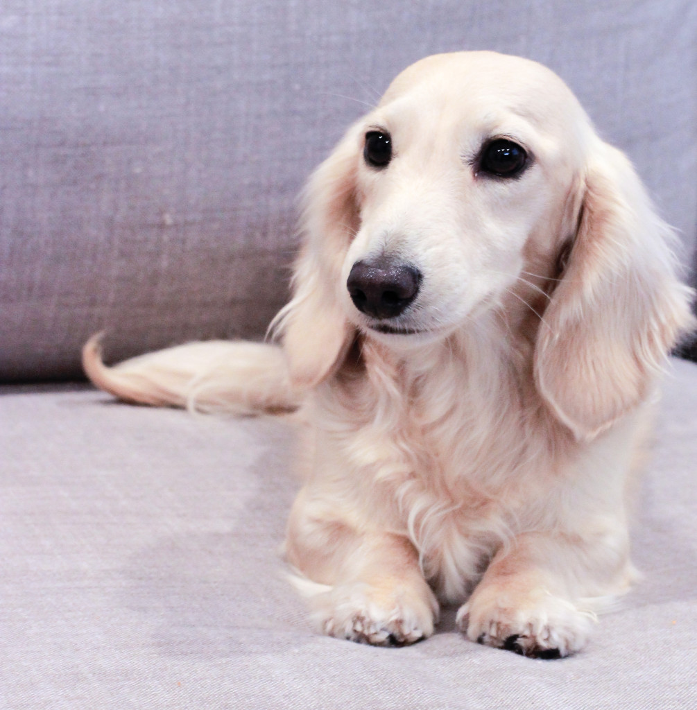 percy-11-27-16-pale-cream-dachshund-a