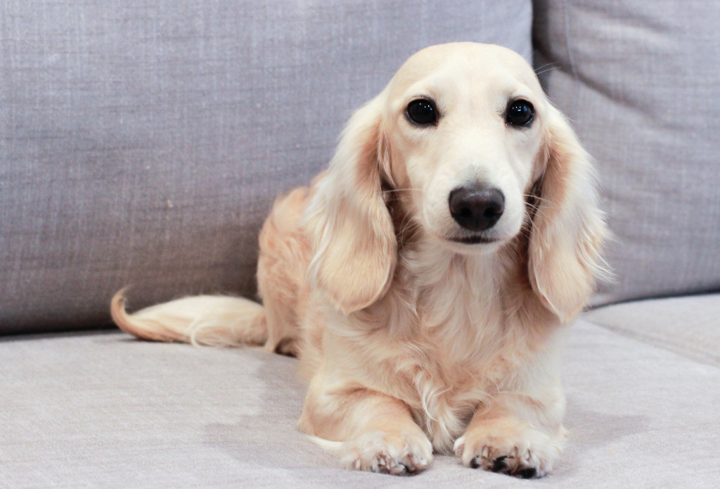 pale english cream longhaired dachshund