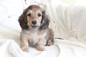 English Cream longhaired dachshund puppy