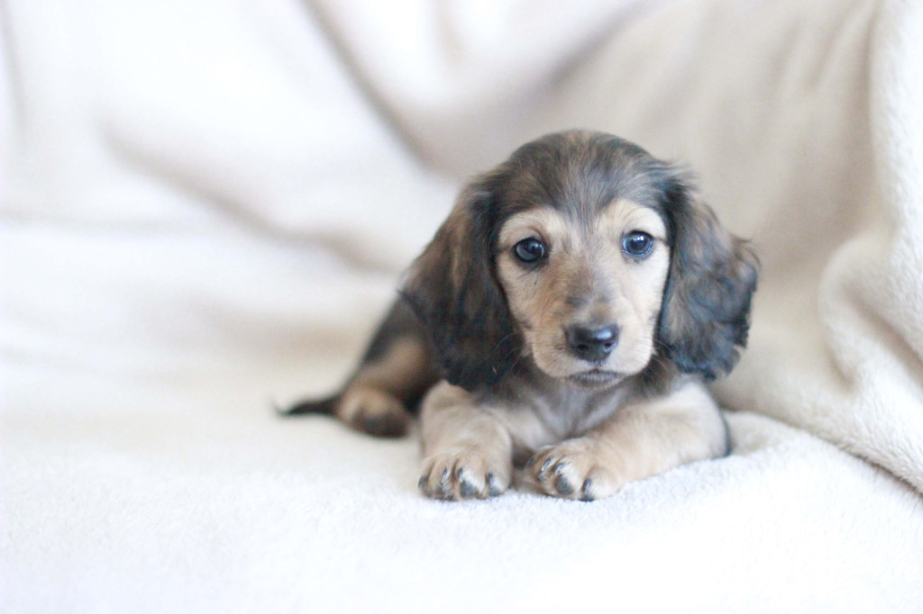 Shaded English Cream Dachshund long-haired