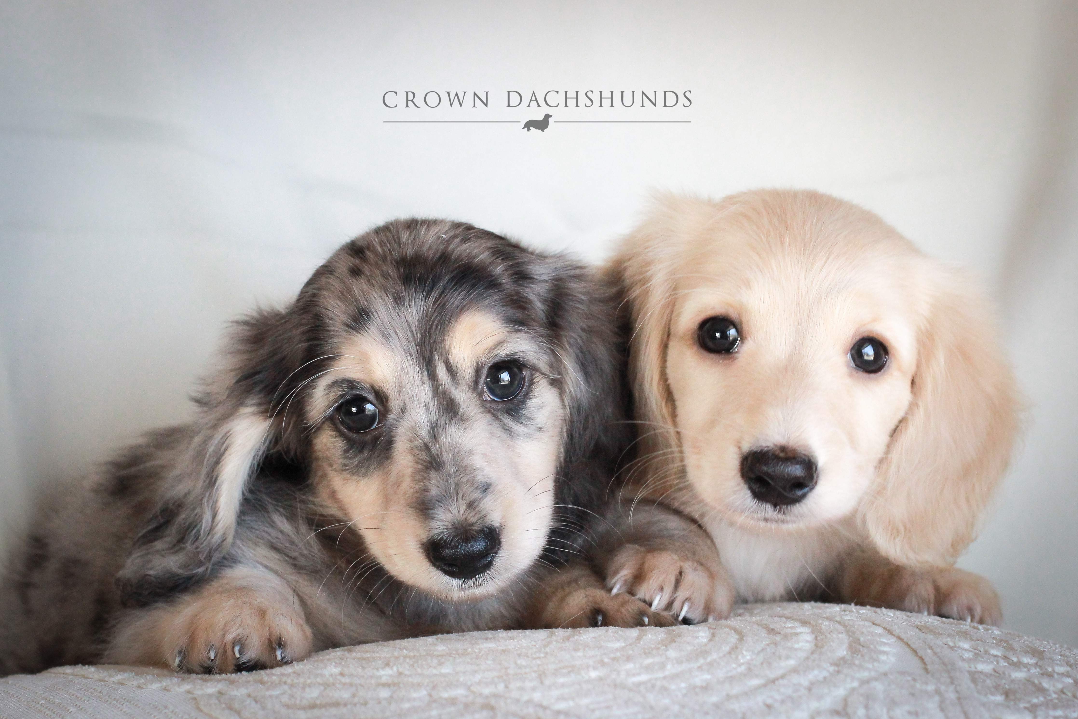 Puppies | Crown Dachshunds