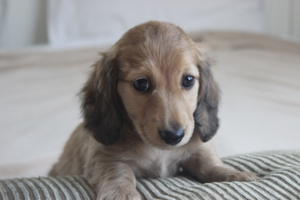 english cream dachshund puppy 5