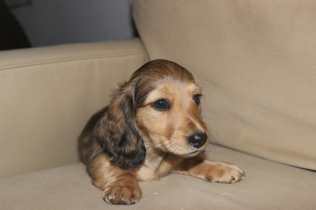 english cream dachshund puppy 7
