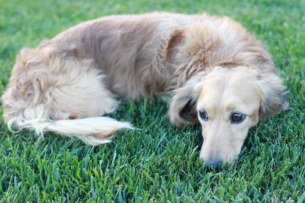english cream long-haired dachshund