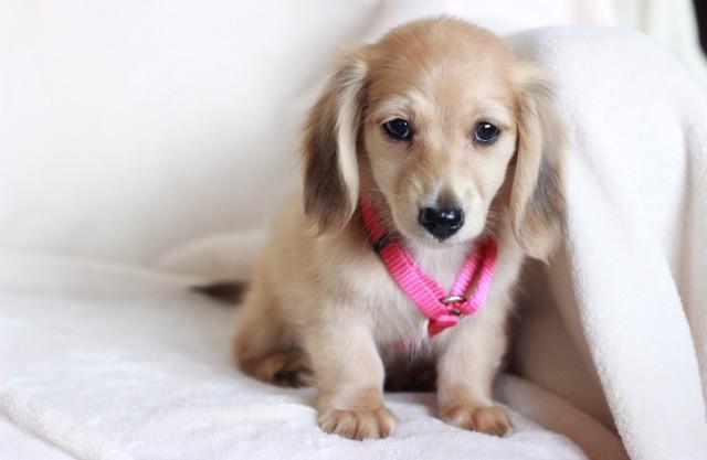 English Cream longhaired puppy dachshund