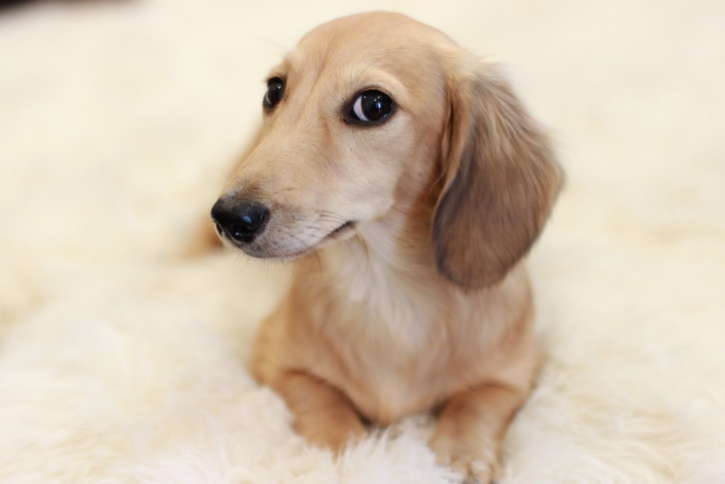 Mini dachshund long-haired English cream