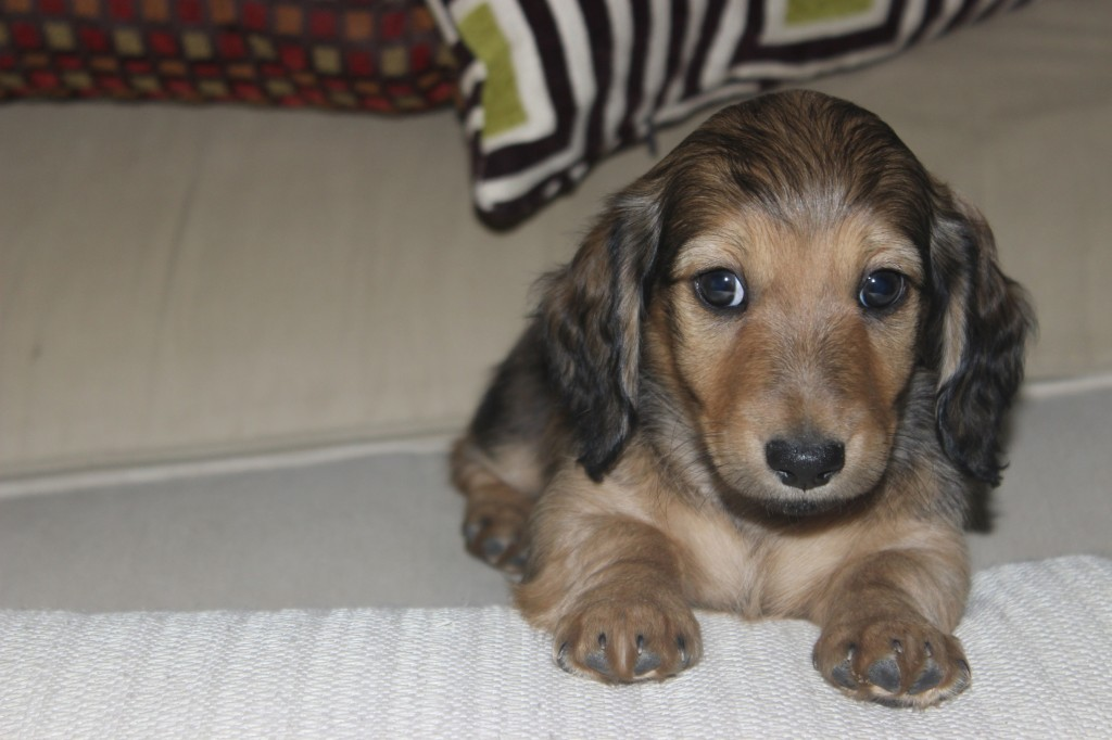 shaded english cream dachshund puppy 6