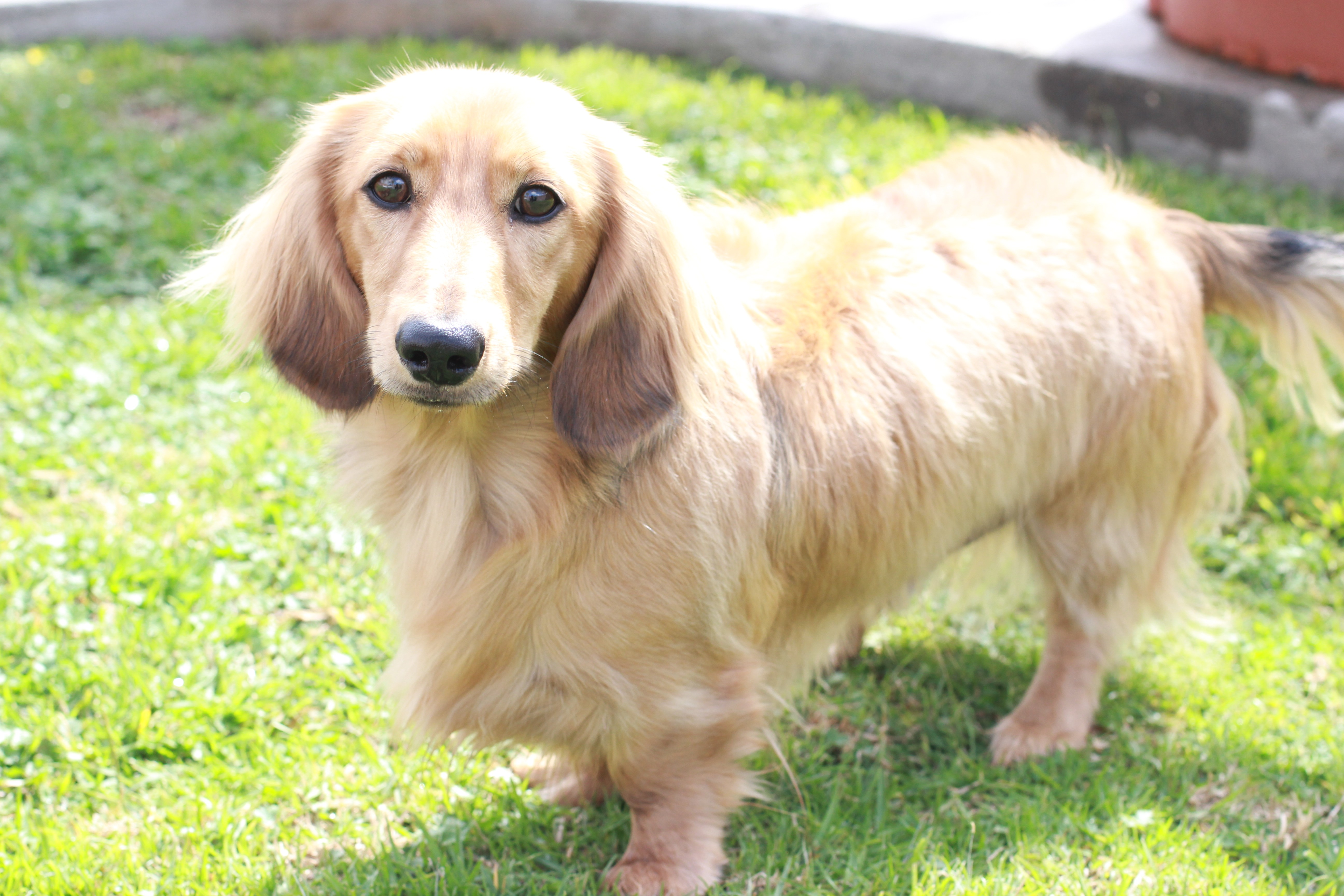 About English Cream Dachshunds | Crown Dachshunds