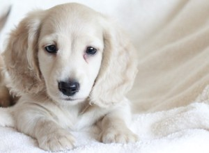 Pale cream dachshund