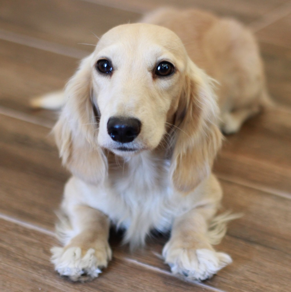 Pale cream miniature dachshund