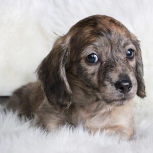 English cream brindle puppy